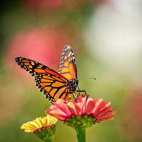 monarch butterfly sitting on a pink flower