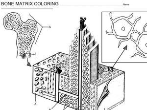 bone matrix coloring 9th 12th grade worksheet lesson planet. Black Bedroom Furniture Sets. Home Design Ideas