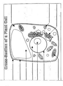 Cross-Section of a Plant Cell Lesson Plan