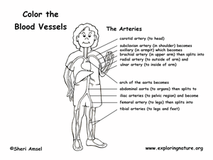 diagram of arteries full body diagram of lymphatic system full body elsavadorla. Black Bedroom Furniture Sets. Home Design Ideas