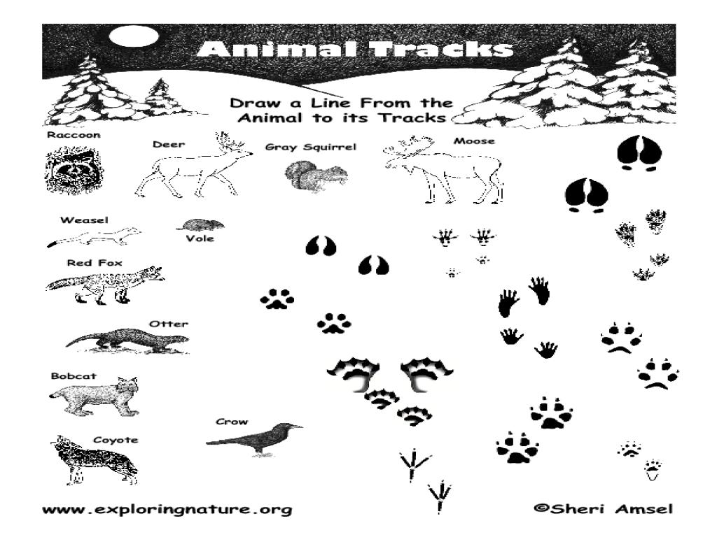 Animal Tracks 3rd - 4th Grade Worksheet   Lesson Planet