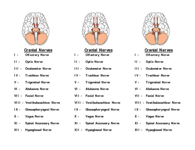 Worksheets Cranial Nerves Worksheet Justptctrusted And Printables