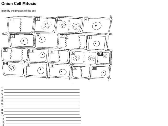 stages of mitosis worksheet Termolak – Mitosis Worksheet Key