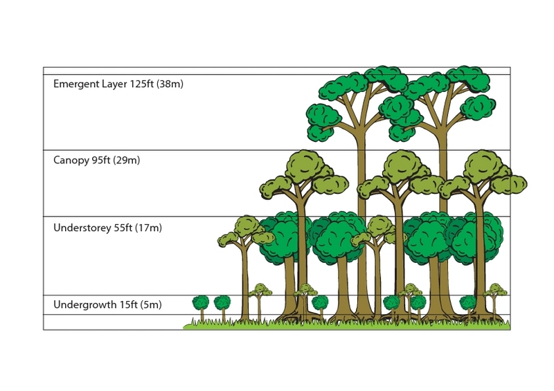 Rainforest Layers Illustration 3rd - 4th Grade Lesson Plan ...