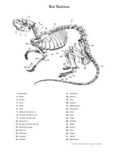 cgrmlwnvbnzlcnqymdezmdmzmc0ymjyyns0xyxz3cg4uanbn Rat Skeleton Diagram on halloween decoration amazon, found latin american, clip art, where is p3,