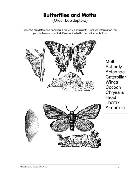 Butterflies and Moths- Order Lepidoptera Worksheet for 7th