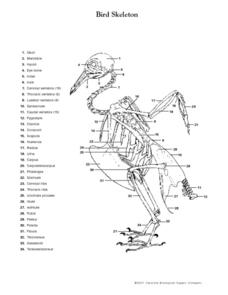 Bird Skeleton Worksheet