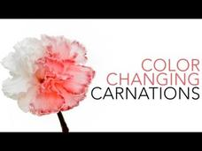 Color Changing Carnations Video