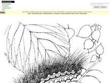 Acraea Moth Caterpillar Worksheet