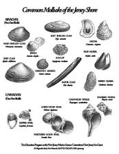 Common Mollusks of the Jersey Shore Lesson Plan for 8th