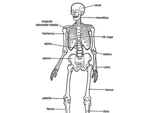 Skeleton Diagram Worksheet