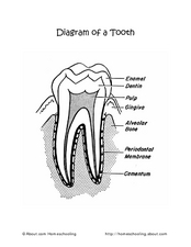 Diagram of a Tooth Worksheet