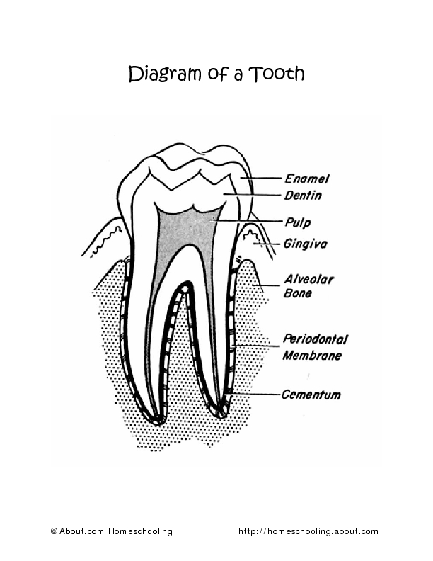 Diagram of a Tooth Worksheet for 2nd - 3rd Grade | Lesson ...