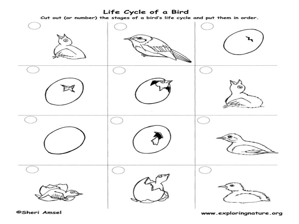 Life Cycle of a Bluebird Worksheet for 2nd - 4th Grade ...