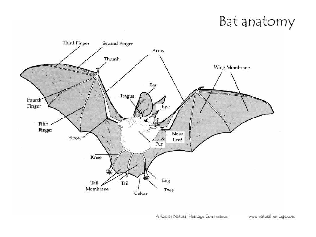 bat anatomy worksheet for 4th - 5th grade | lesson planet bat skeleton diagram labels #12