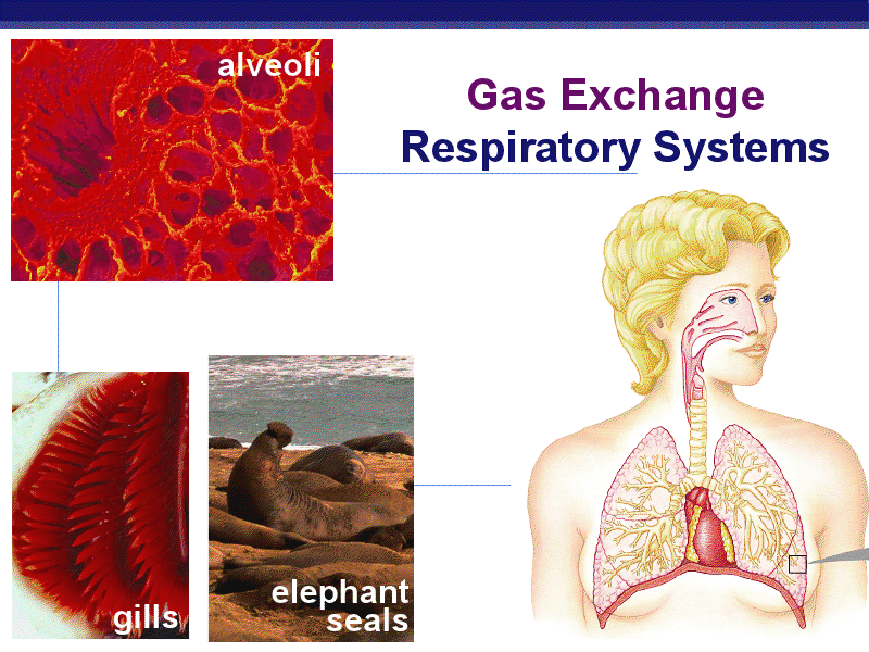 Gas Exchange And Respiratory Systems. Presentation