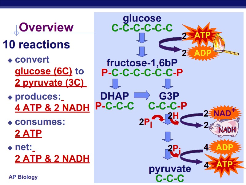 Cellular Respiration Oxidation of Pyruvate Krebs Cycle Presentation