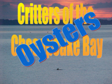 Critters of The Chesapeake Bay - Oysters Presentation