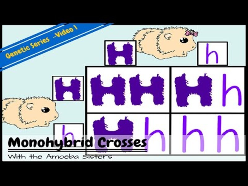 Monohybrids and the Punnett Square Guinea Pigs Video