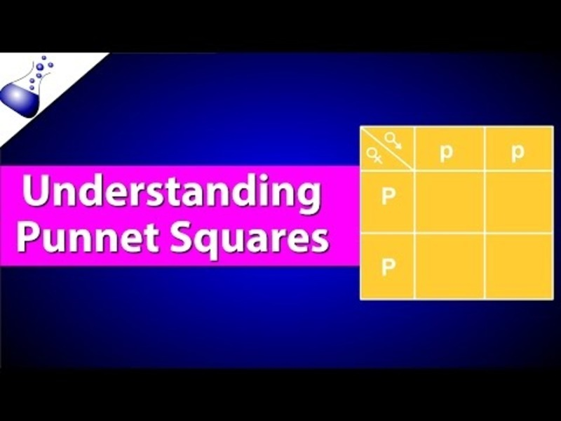 How Punnett Squares Work Video