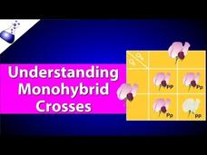 Monohybrid Genetic Cross Video