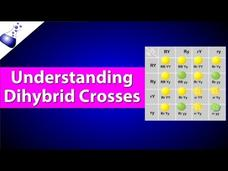 Dihybrid Genetic Cross Video