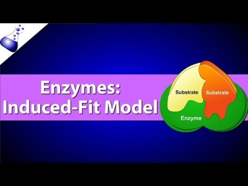 Enzymes: The Induced Fit Model Video