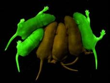 Glowing Rats and Extreme Genetic Engineering Video