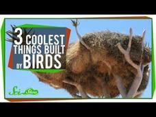 The 3 Coolest Things Built By Birds Video
