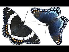 Are These Butterflies The Same? Video