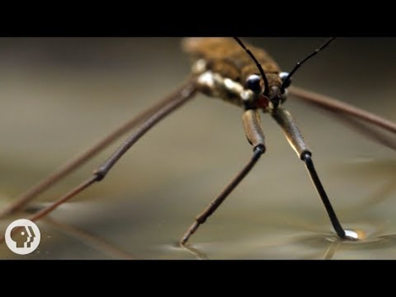 This Is Why Water Striders Make Terrible Lifeguards Video