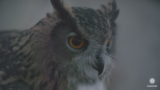 What Makes Owls So Quiet and So Deadly? Video