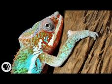 Nature's Mood Rings: How Chameleons Really Change Color Video