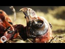 Watch Flesh-Eating Beetles Strip Bodies to the Bone Video