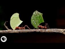 Where Are the Ants Carrying All Those Leaves? Video