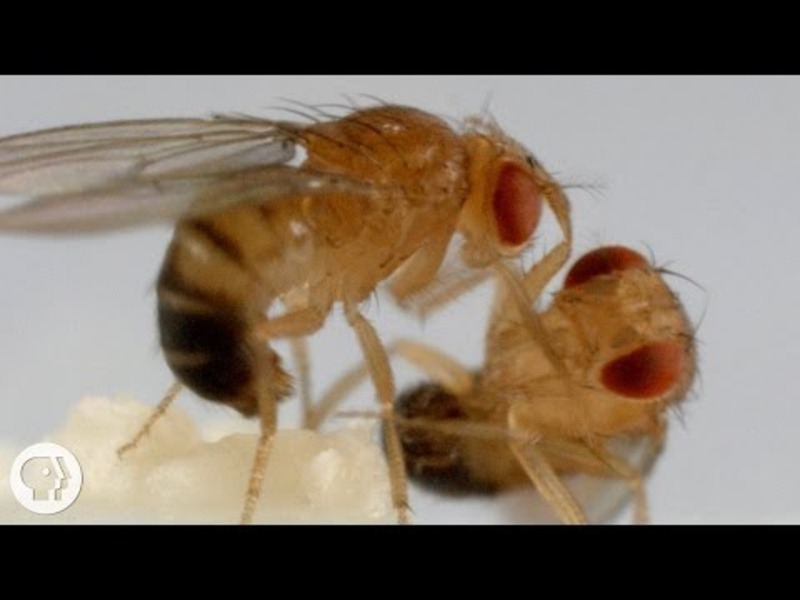 These Fighting Fruit Flies Are Superheroes of Brain Science Video