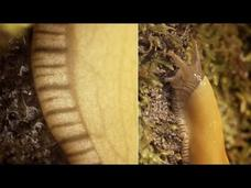 Banana Slugs: Secret of the Slime Video