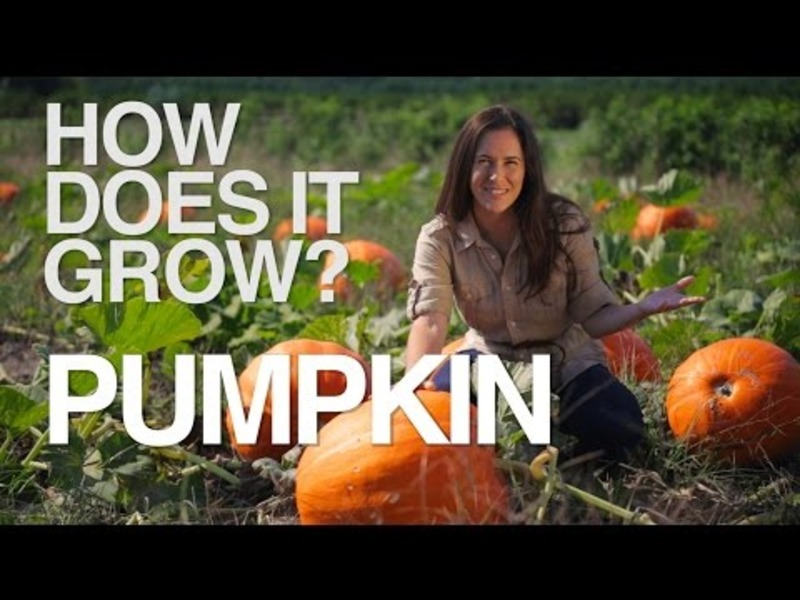 How Does it Grow? Pumpkins Video
