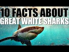 10 Facts About Great White Sharks Video