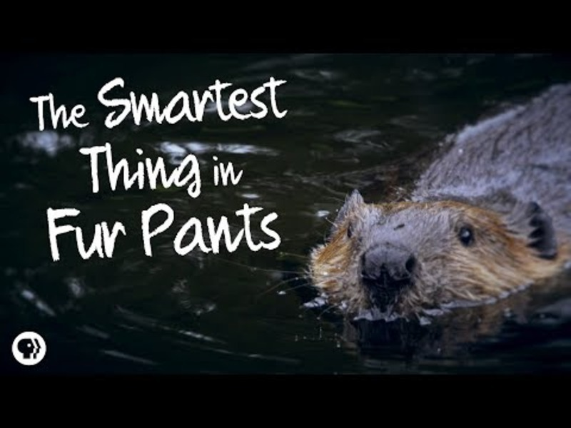Beavers: The Smartest Thing in Fur Pants Video