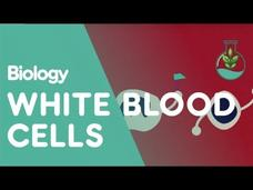 What Are White Blood Cells? Video