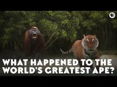 What Happened to the World's Greatest Ape? Video