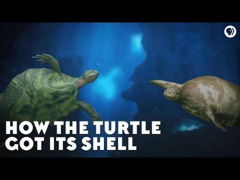 How the Turtle Got Its Shell Video