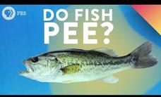 Do Fish Pee? Video