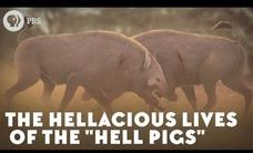 "The Hellacious Lives of the ""Hell Pigs"" Video"