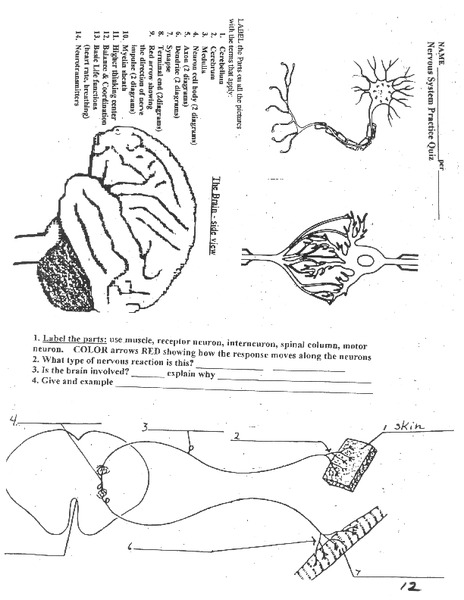 NWNoggin Neuron Worksheet   guides and tips   Neurons moreover  also  together with The Anatomy and Physiology of Animals Nervous System Worksheet additionally The structure and function of sensory  relay and motor neurons as well Human in Diagram Worksheets Lovely in   Neuron Coloring Pages together with 12 2 Nervous Tissue – Anatomy and Physiology also Overview of neuron structure and function  article    Khan Academy as well  together with 12 2 Nervous Tissue – Anatomy and Physiology additionally Nervous System Worksheet for 9th   Higher Ed   Lesson Pla moreover Anatomy and Physiology of Animals Nervous System   Wikibooks  open additionally Overview of neuron structure and function  article    Khan Academy together with Neuron   Cell  Worksheet by Kristen Rabideau   TpT in addition Neuron Structure Diagram New Neuron Diagram Printable Worksheet by as well CHSH Teach   in Nervous System Neuroscience Teaching Materials. on parts of a neuron worksheet