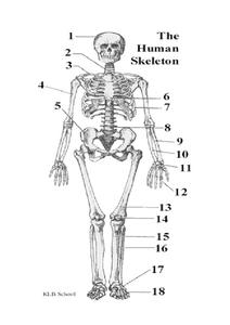 The Human Skeleton Printables & Template