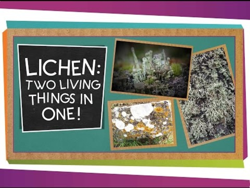 Lichen: Two Living Things In One Video